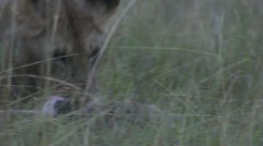Young lion eating, zebra close-up, young lions playing Stock Footage