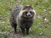 Stock Photo of raccoon dog in natural ambiance