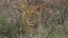 Close-up lions head Stock Footage