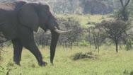 Elephants walking through grassland Stock Footage