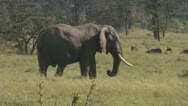 Elephants walking through grassland Stock Footage