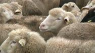 Sheeps on the farm 4 Stock Footage