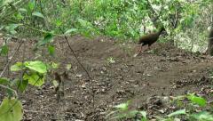 2 diging Dusky Megapodes birds Stock Footage