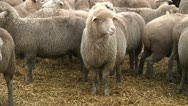 Sheeps on the farm 2 Stock Footage