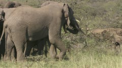 Elephant carrying big branch, Close-up of elephant Stock Footage