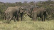 Elephants walking and eating Stock Footage