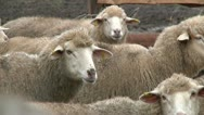 Sheeps on the farm 1 Stock Footage