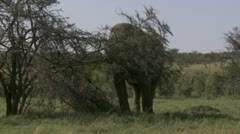 Elephant pulling on big branch Stock Footage