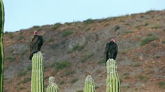 Two Turkey Vultures Resting Stock Footage