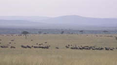 Wildebeests on African plains - stock footage