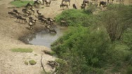 Wildebeests drinking at pool Stock Footage