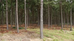 Pine Forest - Reforestation In Brazil Stock Footage
