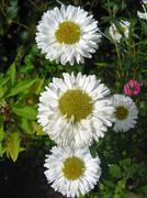 four beautiful white asters - stock photo