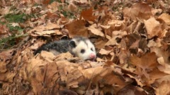 Angry opossum Stock Footage