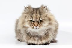 Angry persian cat golden chinchilla Stock Photos