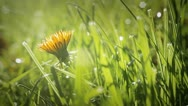 Yellow dandelion flower in the grass Stock Footage