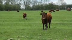 Brown cow. Stock Footage