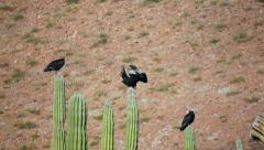 Three Turkey Vultures Stretching Stock Footage