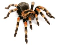 mexican redknee tarantula (brachypelma smithi) - stock photo