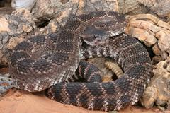 southern pacific rattlesnake (crotalus viridis helleri) - stock photo