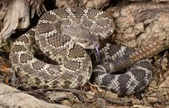 Southern pacific rattlesnake. Stock Photos