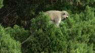 Vervet monkey in tree Stock Footage