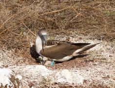 curious blue footed booby seabird and chick - stock photo