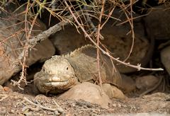 galapagos land iguana in arid part of islands - stock photo