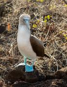 curious blue footed booby seabird on galapagos - stock photo