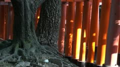 Man walks through beautiful torii gates with ancient tree in Kyoto, Japan Stock Footage