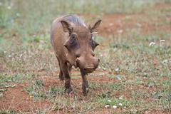 Warthog in his environment Stock Photos