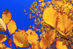Yellow  leaves with pure blue sky in the backround - stock photo