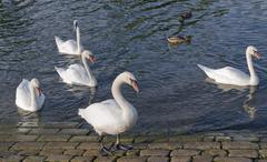swans and ducks riverside - stock photo