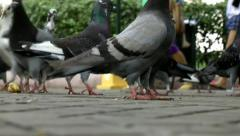 Pigeons, Wild Birds, Animals Stock Footage