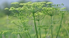 Angelica plan Stock Footage
