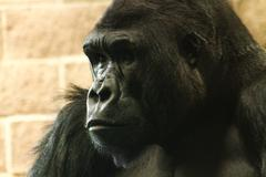 Gorilla Face 01 - stock photo