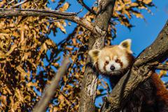 Red Panda 02 Stock Photos