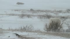 111116 SnowyBear 05b Stock Footage
