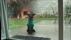 Dog in Green Sweater Barking Through Sliding Glass Doors Stock Footage