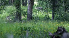 Bigfoot In Woods Stock Footage