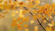 Autumn twig with foliage in the background. Stock Footage