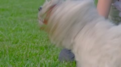 West Highland White Terrier Stock Footage