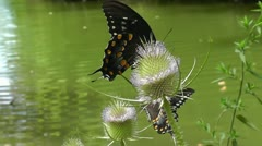 Pair of Swallowtail Butterflies Sip Nectar From a Thistle Plant - stock footage
