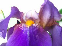 Beautiful iris flower Stock Photos
