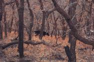 Stock Photo of Black Dog in Fall Scrub Oaks