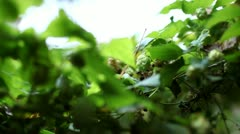 Hops Plant Close Up Stock Footage