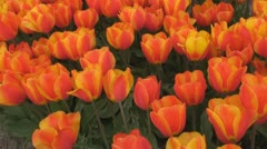 Glowing red and yellow tulips - stock footage