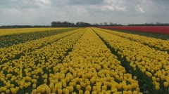 Yellow sea of tulips Stock Footage