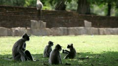 Hanuman (Gray langur) Stock Footage