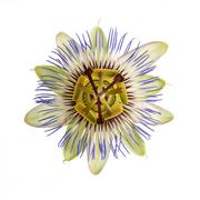 Stock Photo of single passion flower